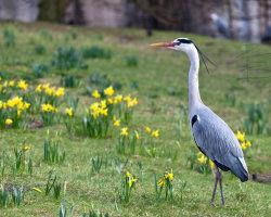 Walking Through Daffodils