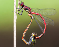 Damselfly Couple