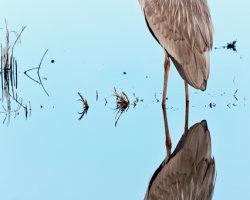 Double Heron