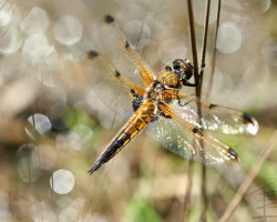 4-spotted Chaser