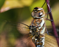 Migrant Hawker Close-Up