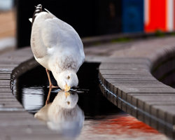 Seagull Drinking