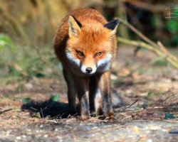 Face-to-face with a Fox