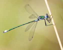 Emerald Damselfly Close-Up