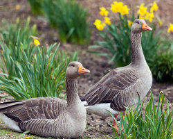 Geese and Daffodils