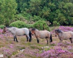 Wild Ponies on the Heath