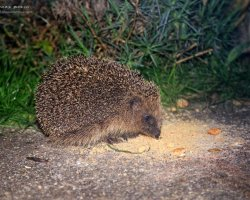 Hedgehog at Night