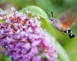 Humming-bird Hawk-moth