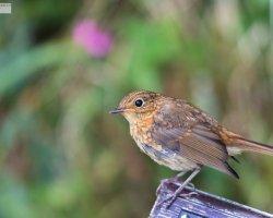 Juvenile Robin on Bench