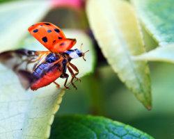 Ladybird Leap