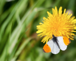 Orange Tip on Dandelion
