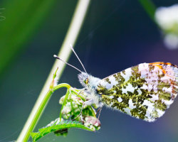 Orange Tip Butterfly at Rest