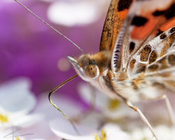 Portrait of a Painted Lady