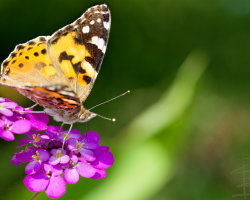 Painted Lady on Purple Flowers