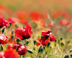 Poppy Field Bokeh