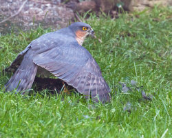 Sparrowhawk and Starling 3