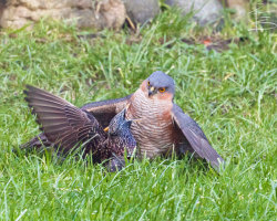 Sparrowhawk and Starling 1