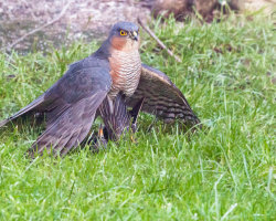 Sparrowhawk and Starling 5