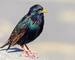 The Colours of a Starling