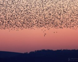 Starling Murmuration at Studland 11