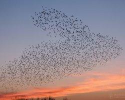 Starling Murmuration at Studland 5
