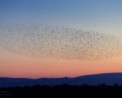 Starling Murmuration at Studland 6