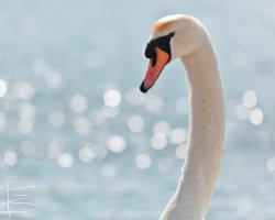 Swan Bokeh
