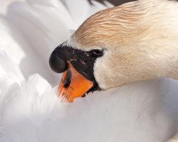 Close Up Swan
