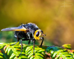 Tachina Grossa Fly