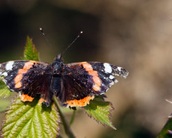 Ragged Red Admiral