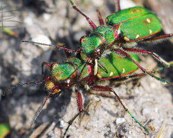 Mating Green Tiger Beetles