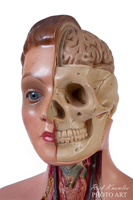 Anatomical Model Head