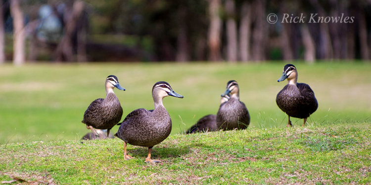 Ducks on a Grassy Knoll
