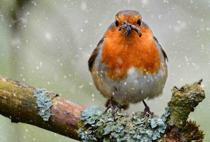 Chubby Winter Robin