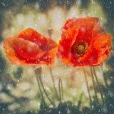 Winter Poppies