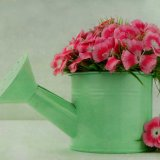 Pretty pink Sweet Williams