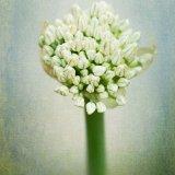 Onion Seed Head