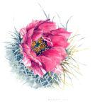 Cactus Rose (watercolour) by Patricia Senior