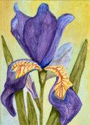 Iris (Watercolour) by Marjorie Robinson