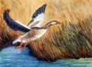 Goose Take-off (watercolour) by Majorie Robinson