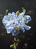 Himalayan Blue