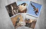 5 British birds of prey greeting cards