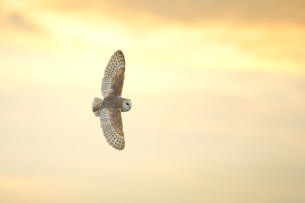 Barn-Owl 019