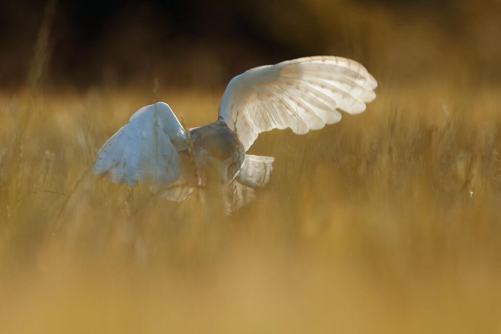 Barn-Owl 022