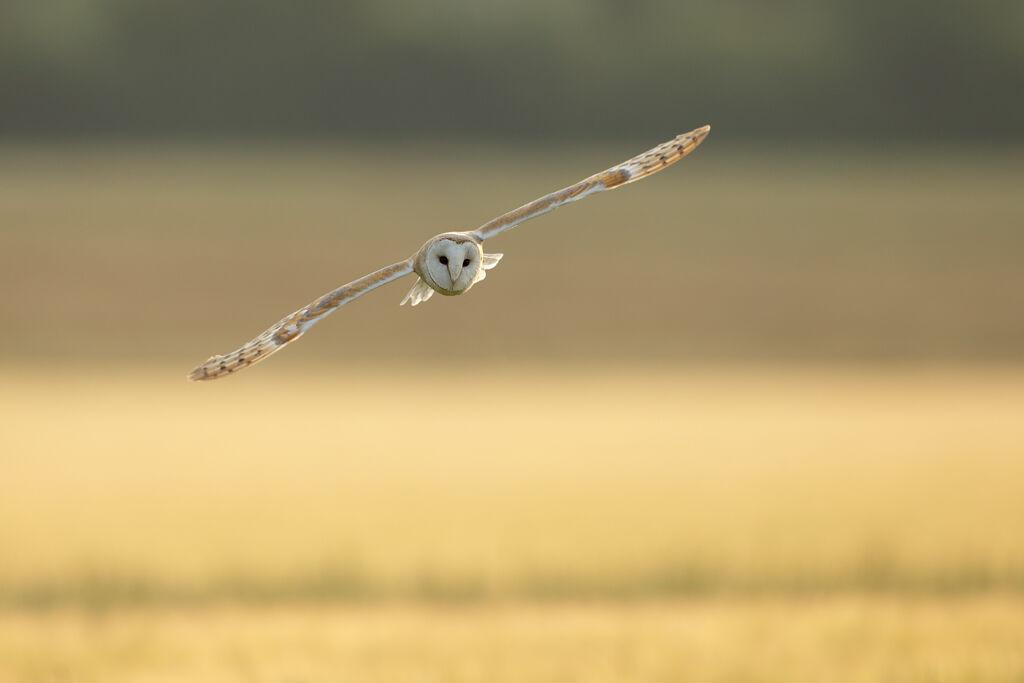 Barn-Owl 024