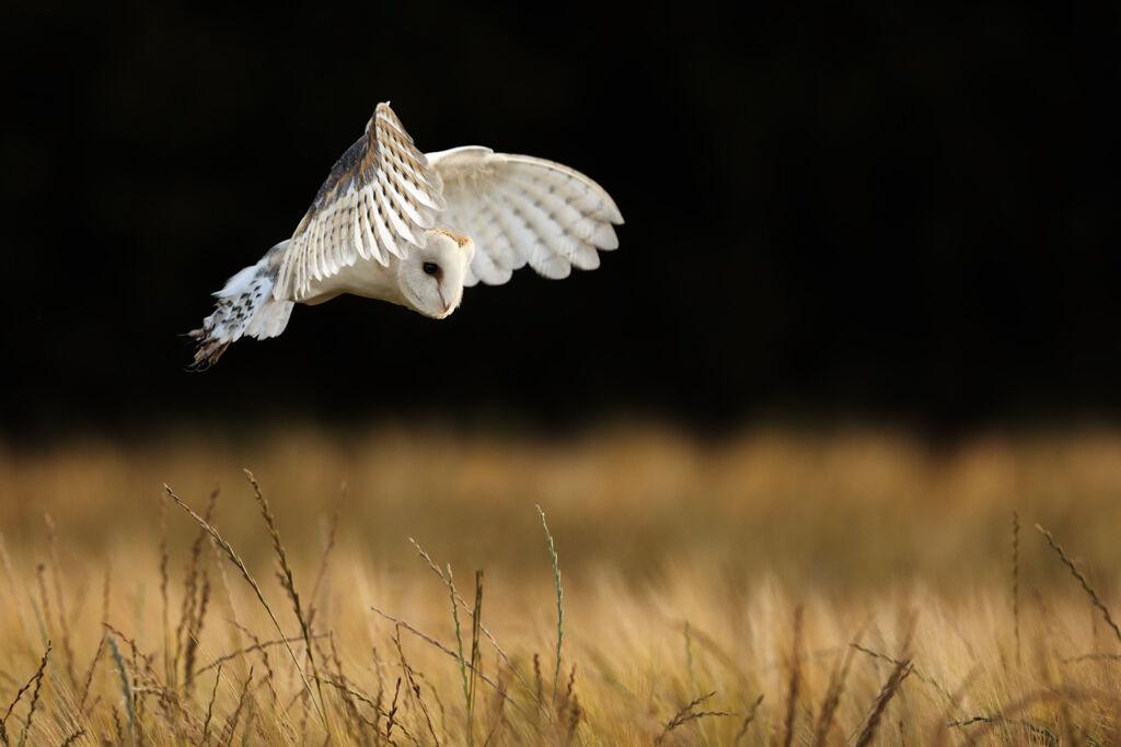 Barn-Owl 028