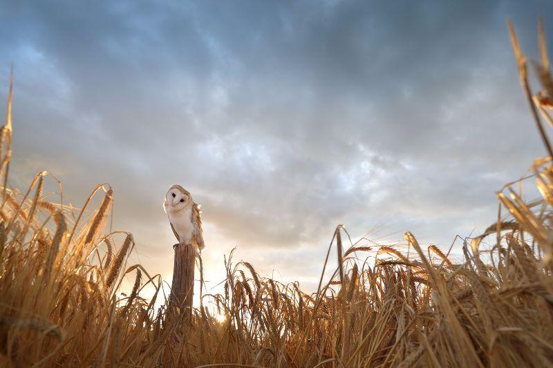 Barn-Owl 067