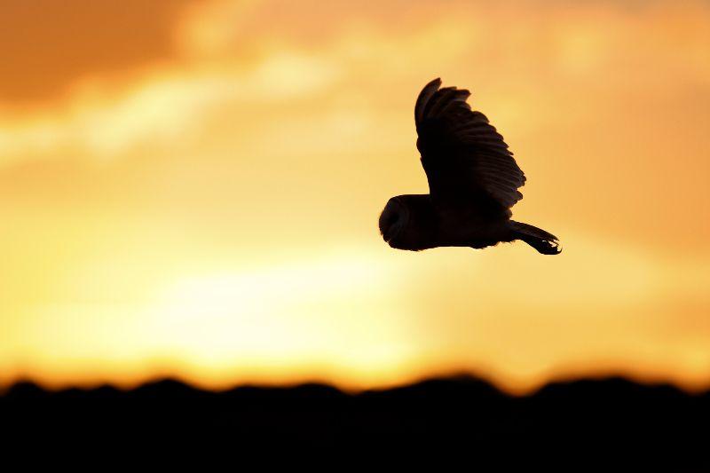 Barn-Owl 068