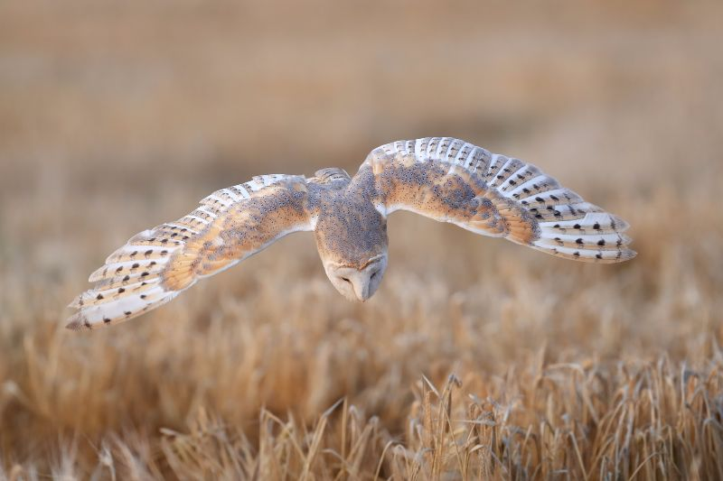 Barn-Owl 070