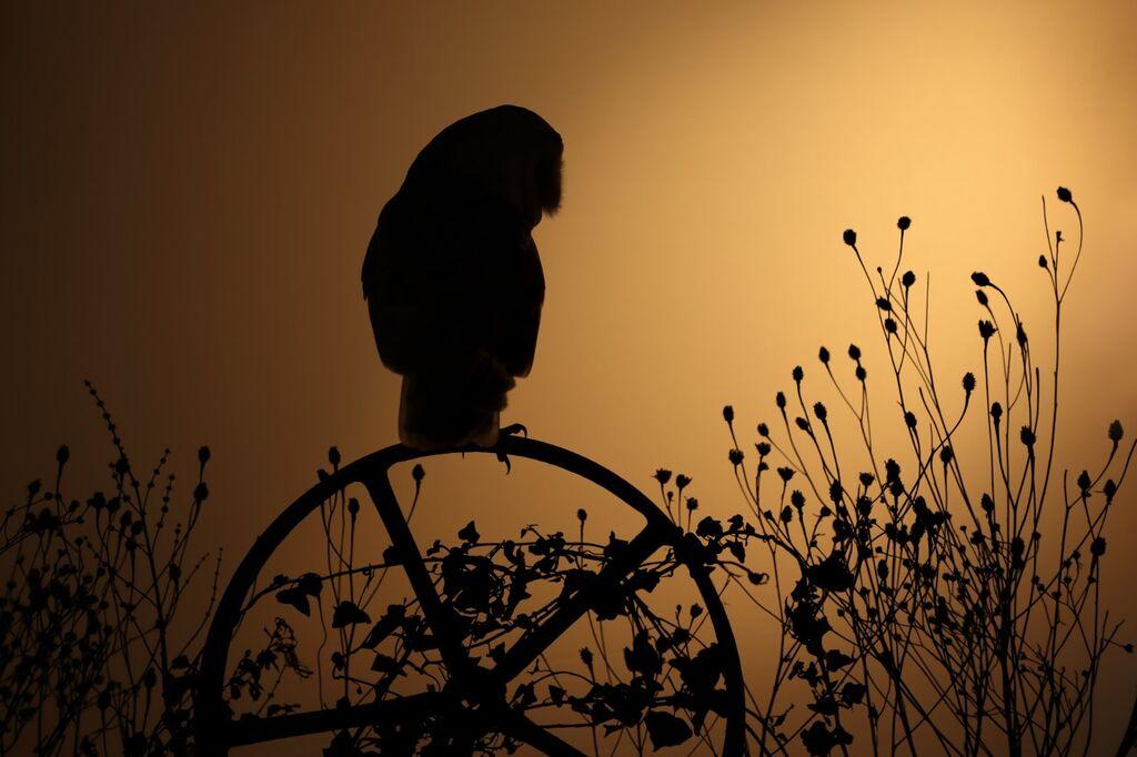 Barn-Owl 075